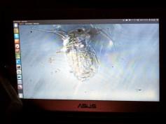 'Kutu Air' as seen through webcam microscope Photo credit: Lifepatch.org
